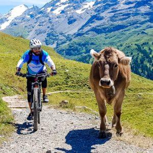 Freie Kühe auf dem Trail